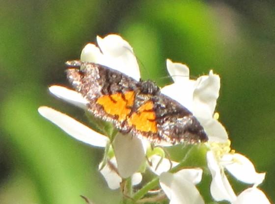 moth - Annaphila decia