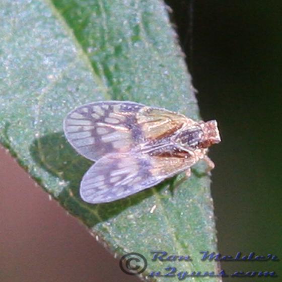 Planthopper - Bothriocera maculata