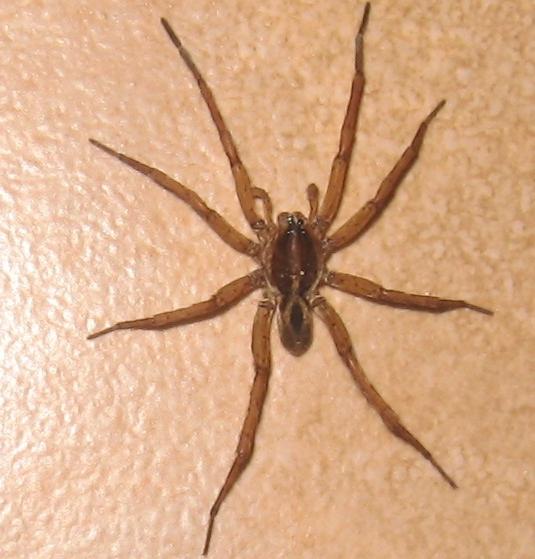 Field Wolf Spider - Tigrosa annexa - male