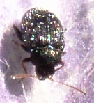 Eggplant Flea Beetle - Epitrix fuscula