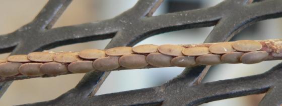 Angle-wing Katydid Eggs - Microcentrum