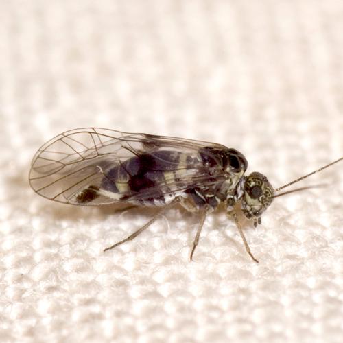 Common Barklouse - Amphigerontia montivaga