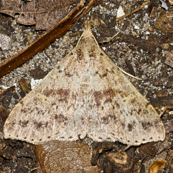 Discolored Renia Moth - Hodges#8381 - Renia salusalis - male