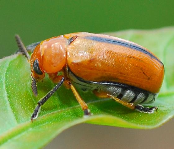 beetle - Anomoea nitidicollis