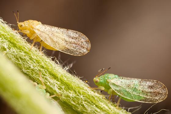 Plant Lice - Craspedolepta angustipennis