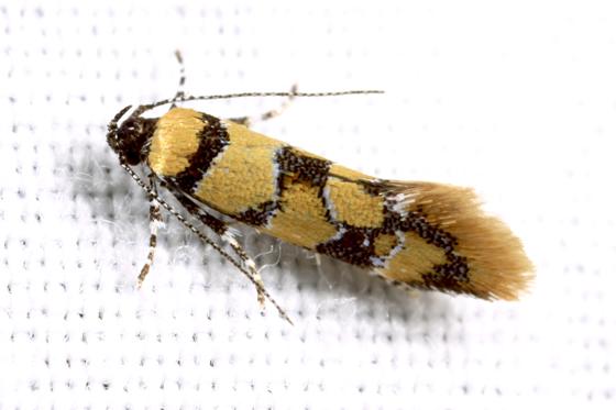 Moth - Decantha boreasella