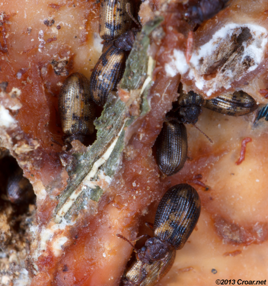 Derodontus esotericus congregation - Derodontus esotericus