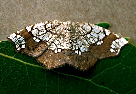 Horned Spanworm - Nematocampa resistaria - female