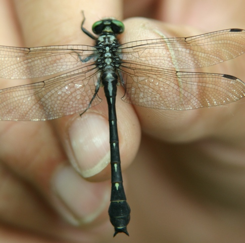 Green-faced Clubtail - Hylogomphus viridifrons - male