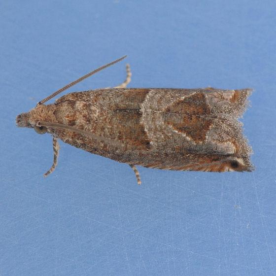 3219 Canadian Sonia Moth - Sonia canadana