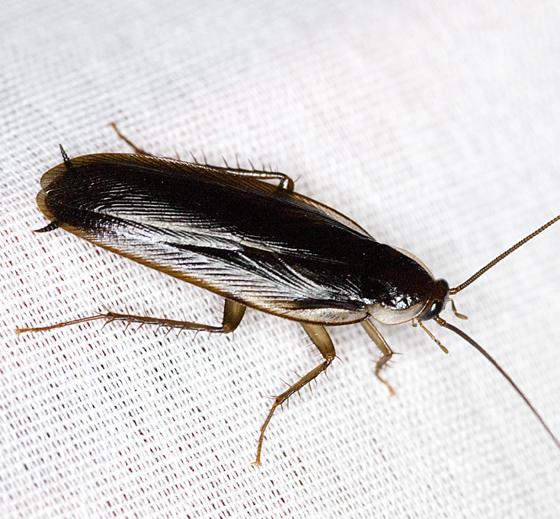 Wood Cockroach - Parcoblatta pennsylvanica