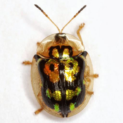 Deloyala lecontii (Crotch) - Deloyala lecontii