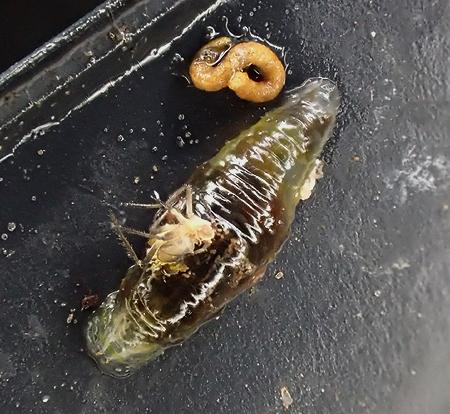 larva (Diptera?) dorsal view