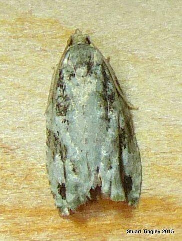 Proteoteras moffatiana