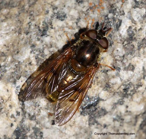 Fly - Ferdinandea croesus - female