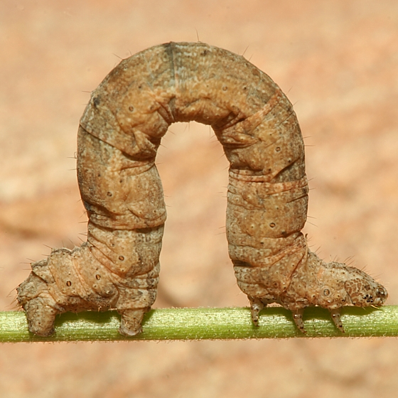 Larva - Archirhoe neomexicana
