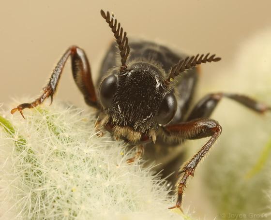 ripiphorid - Ripiphorus - female