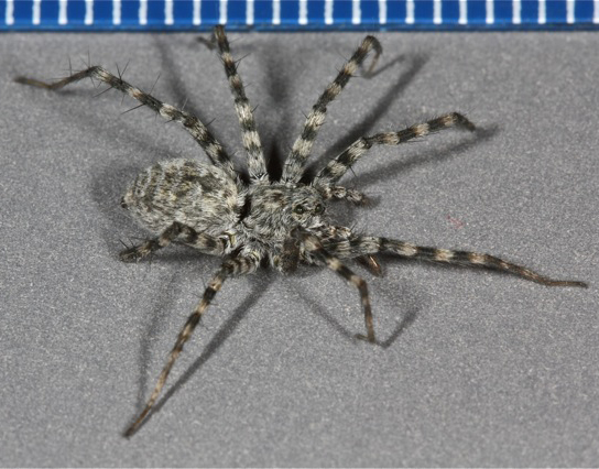 voucher image - Pardosa atromedia - female