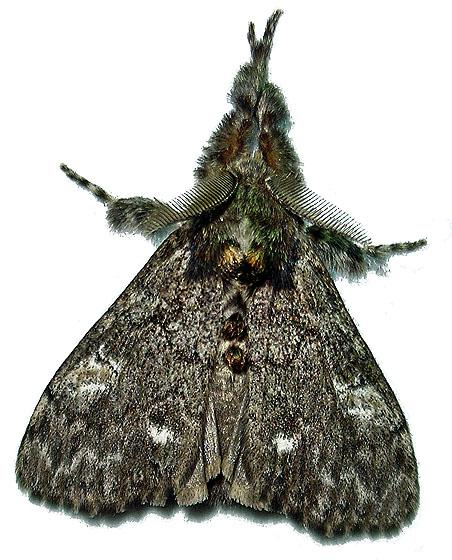 Pine tussock moth - Dasychira grisefacta - male