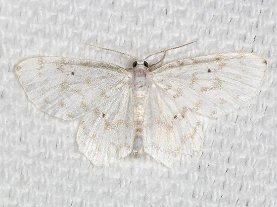 Fragile White Carpet - Hodges#7423 - Hydrelia albifera