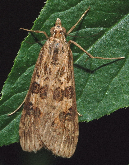 Brown Moth - Nomophila nearctica