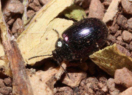 Small Black-Blue iridescent Beetle - Phaedon purpureus