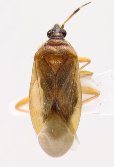 a true bug - Amphiareus obscuriceps