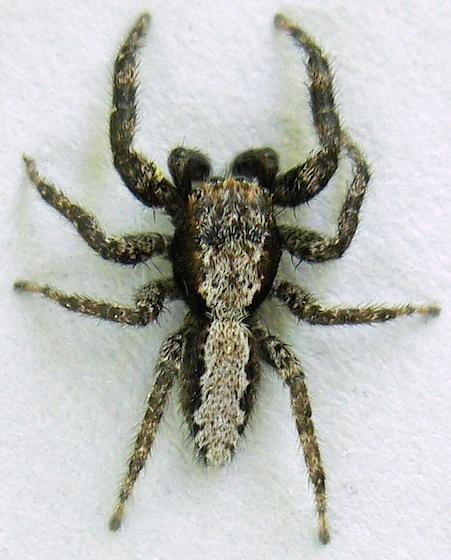 Jumping Spider - Platycryptus californicus - male