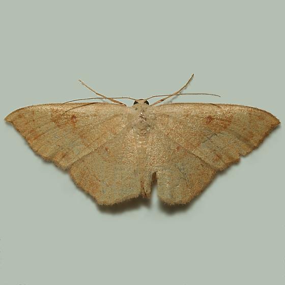 Tentative - Semaeopus gracilata