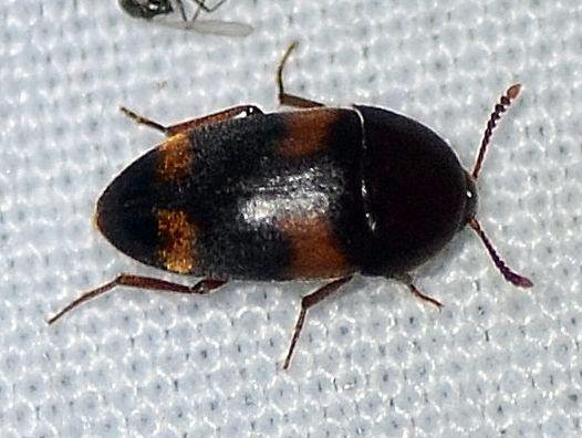 Mycetophagidae ? - Holostrophus bifasciatus