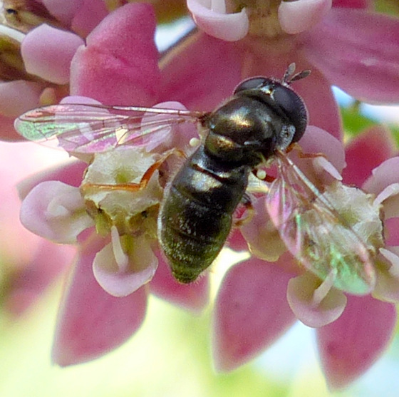 Syrphidae, maybe tribe Pipizini?  - Paragus haemorrhous
