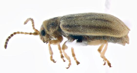 Chrysomelidae, lateral - Ophraella bilineata