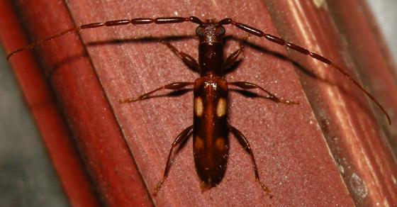 Heterachthes quadrimaculatus