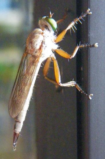Robber Fly - Polacantha