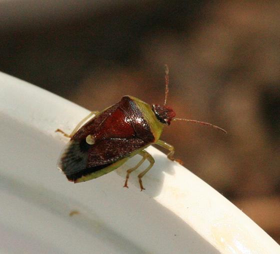 Green and Burgandy Stink Bug - Banasa dimidiata