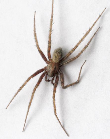 Nursery web spider? - Tegenaria domestica - BugGuide.Net