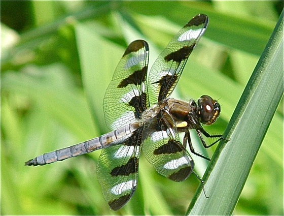 Twelve-spotted Skimmer - Libellula pulchella - male