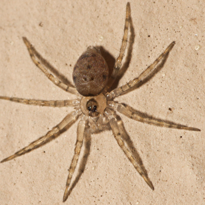 Wall Spider - Oecobius - male