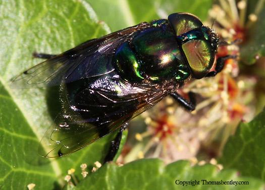 Fly - Ornidia obesa