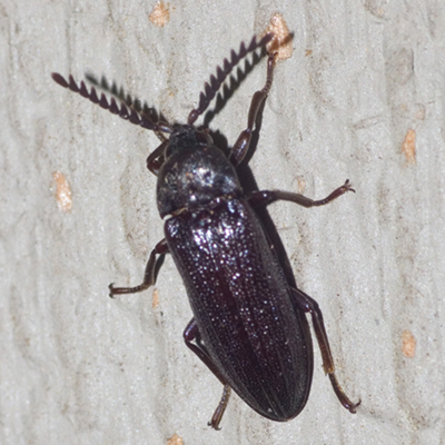 Callirhipid Cedar Beetle - Zenoa picea - male