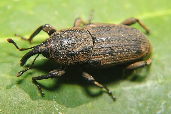 BillBug - Sphenophorus venatus - male