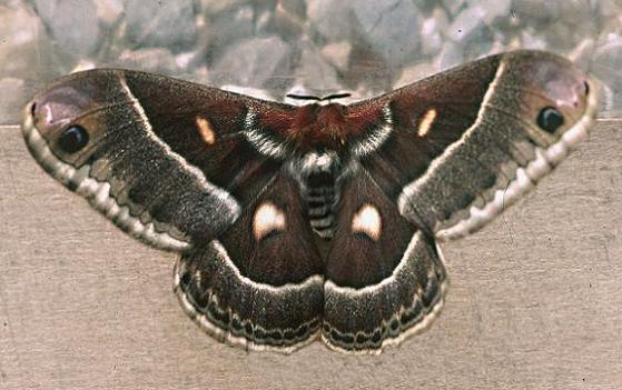 Columbia Silkmoth - Hyalophora columbia - female