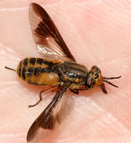 Deer Fly - Chrysops indus - female