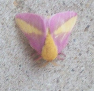 Unknown Moth - Dryocampa rubicunda