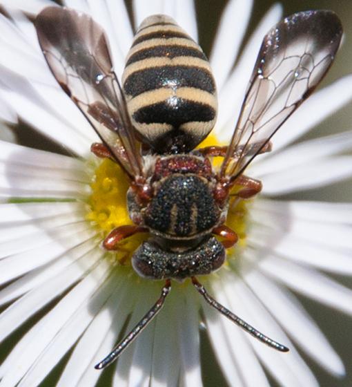 Epeolus scutellaris - female