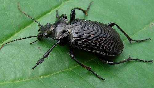 Black Caterpillar Hunter - Calosoma sayi