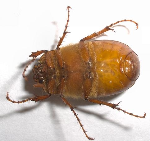 may beetle or june bug phyllophaga bugguide net