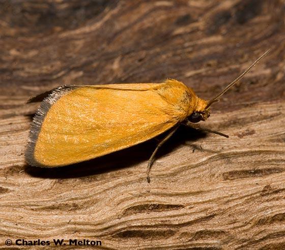 Moth - Eulithosia composita