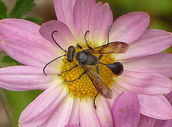 wasp species? - Isodontia mexicana
