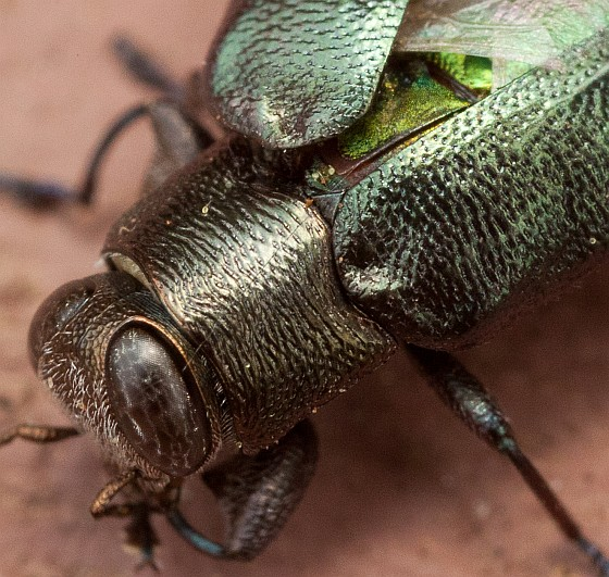 Bright green beetle with injured wing or wing cover - Chrysobothris analis